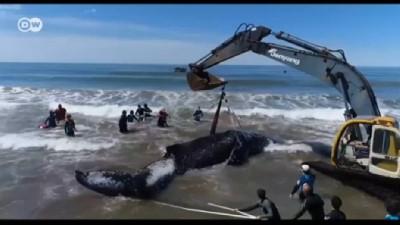 Dev balina ancak vinçle kurtarılabildi
