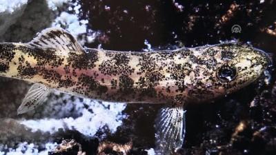 bilim tarihi - Van Gölü'nde yaşayan ikinci balık türünü Mehmetçik buldu - VAN