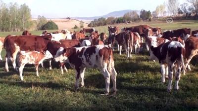 Devlet desteğiyle günde 2,5 ton süt üretiyor - MUŞ