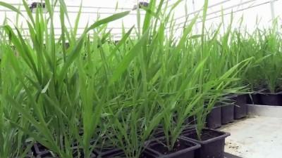 Yeni geliştirilen buğday, kıraç arazilere umut olacak - KARAMAN