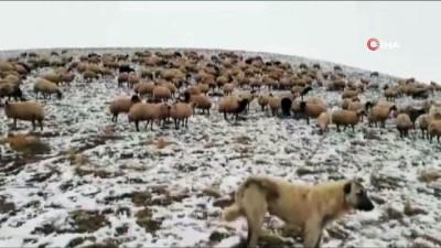 Erzincan'da etkili olan kar yağışı nedeniyle koyun sürüleri yaylada mahsur kaldı