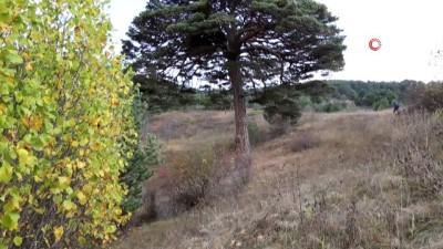 isgal -  Dev çam ağacı hem boyutu hem de hikayesi ile dikkat çekiyor
