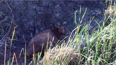 Su kanalına düşen ineği itfaiye kurtardı - TOKAT
