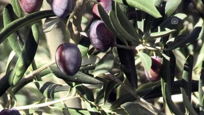 Kahramanmaraş'ta organik zeytin hasadı başladı