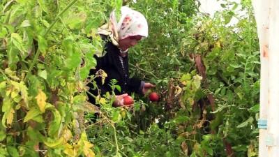 Osmanlı sarayından gönderilen tohumlar Safranbolu'da yeşeriyor - KARABÜK