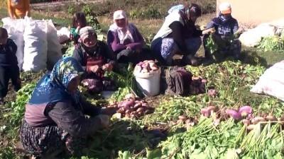 Şalgam hasadına başlandı - MUŞ