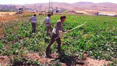 Afgan işçiler pancar mesaisinde - KAYSERİ