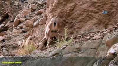 Koruma altına alınan Yaban Keçilerinin sayıları artıyor