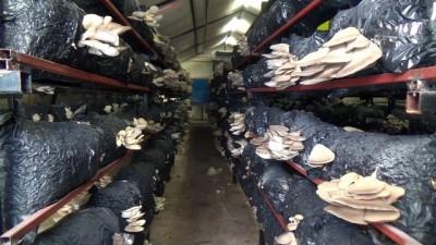 Genç girişimci yılda 20 ton mantar üreten tesis kurdu - MERSİN