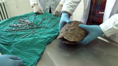 Kaplumbağanın kırılan kabuğu 'Çivi ve telle' birleştirildi