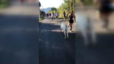 Sporcularla koşan keçi, ilgi odağı oldu (2) - MUĞLA