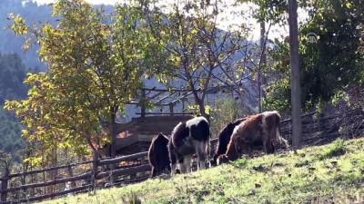 hayvan - Karasabanla hasadını yaptıkları ürünlerle kışa hazırlanıyorlar - GÜMÜŞHANE