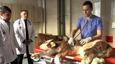 Hayvan hastanesinden ekonomiye 'buzağı' katkısı - KAYSERİ