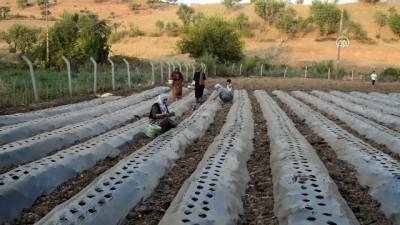 Sason'da çilek ekimine başlandı - BATMAN
