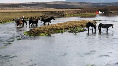 Kars'ta, yılkı atları doğal ortamda görüntülendi