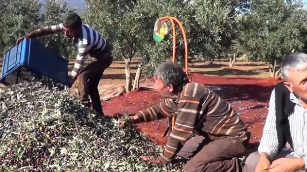 Gaziantep'in Ünlü Zeytini İçin Hasat Vakti ile ilgili görsel sonucu
