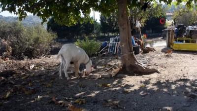 'Karabaş' isimli köpek ve oğlak 'Efe'nin dostluğu görenleri şaşırtıyor