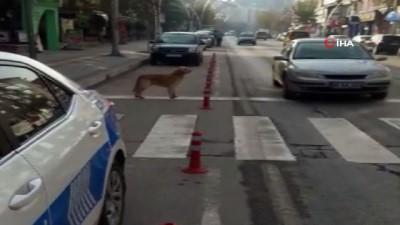 Yaya geçidini kullanan köpek kamerada