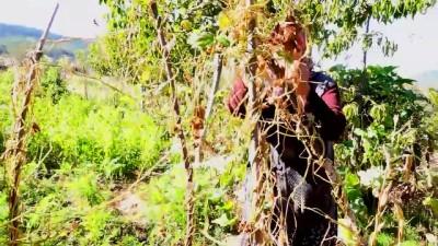 Üç asırlık tohumla ürettikleri fasulye lezzetiyle fark yaratıyor - KÜTAHYA