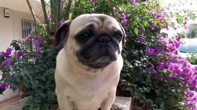 21 gündür kayıp olan ve 3 dilde komutları anlayabilen Pug cinsi köpek, derisinin altına yerleştirilmiş çip sayesinde bulundu