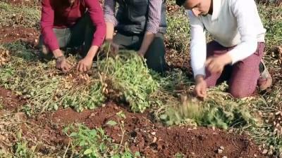 Suriyeliler ekmeğini yer fıstığı tarlalarında çalışarak çıkarıyor - HATAY İzle