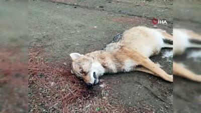 Ormanlık alanda 2 av köpeği, 2 çakal ve bir tilki telef olmuş şekildi bulundu