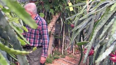 Türkiye'nin ilk tropikal meyvesine tescil - ANTALYA