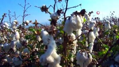Pamukta millileşmek için elle hasada devam ediliyor...Pamuk tarlaları havadan görüntülendi