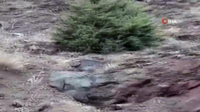 Sivas'ta 3 vaşak aynı anda görüntülendi