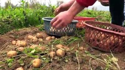 Kışlık patates tarlada 1,5 lira - İZMİR