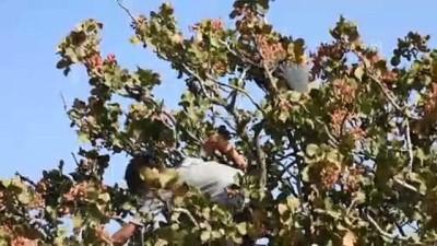 muhalifler - İdlib'dekiler Antep fıstığı kabuğuyla ısınıyor (1) - İDLİB