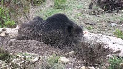 itfaiye araci - Yaralı yabani domuzu itfaiye kurtardı - ADIYAMAN