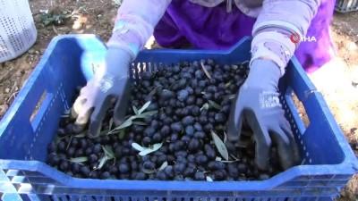 Zeytin hasadının sürdüğü Manisa'da üretici fiyattan dertli