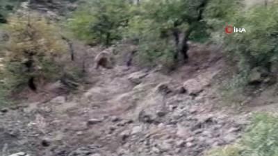hayvan -  Avcılar tarafından vurulan yaralı ayı, kurtarılamadı