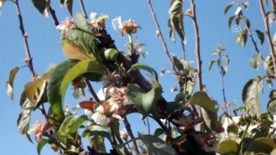 hava sicakligi - Mersin'de erik ağaçları çiçek açtı - MERSİN