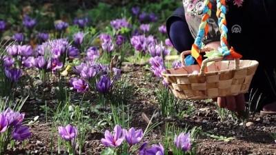 'Mucize bitki' Çukurova toprağını sevdi - OSMANİYE