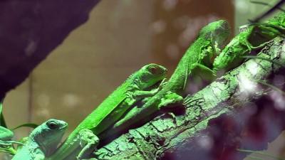 47 iguana yavrusuna özenle bakıyorlar - BURSA