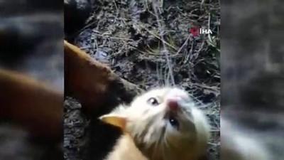 yavru kedi -  Sağılan inekten süt içen yavru kedi tebessüm ettirdi