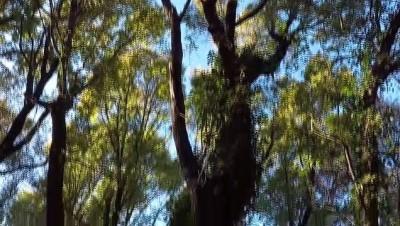 ormanli - Ormanlar yarasalarla korunacak - MUĞLA