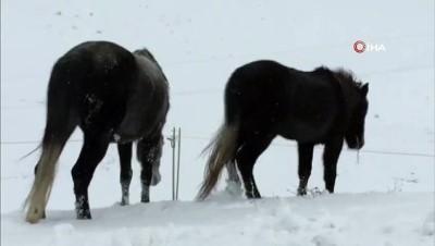 kinali -  Karla beyaza bürünen doğada kınalı keklik ve atlar yiyecek aradı