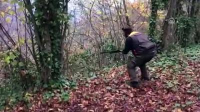 Yaban domuzu sürek avı - ORDU