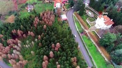 Atatürk Köşkü Ormanı'nda 12 dişli çam kabuk böceğinin kuruttuğu ağaçların kesimlerine başlandı...Atatürk Köşkü Ormanı havadan görüntülendi