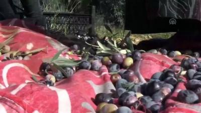 Tarihi manastır bahçesinde zeytin hasadı - MARDİN