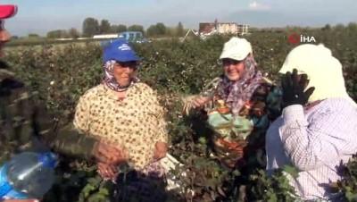Pamuk işçilerine maniyle su dağıtıyor, suyu içen işçiler yorgunluklarını unutuyor...Pamuk hasadının yapıldığı tarlalar havadan böyle görüntülendi