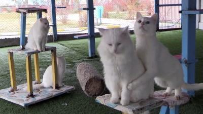 Van kedisi üreme oranında artış - VAN