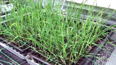 Buğdayın yetişme süresini 60 güne indirdiler - KARAMAN