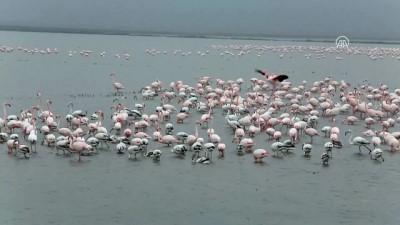 Gala Gölü'nün pembe tüylü misafirleri göçü bekliyor - EDİRNE