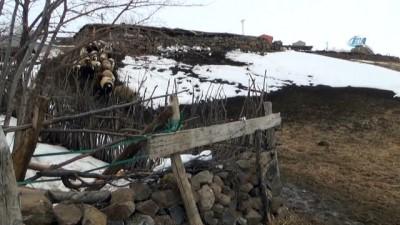 Muş'taki çiftçiler, atalarından kalan hedik geleneğini sürdürüyor