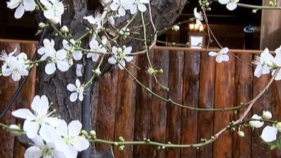Erzincan'da 14 Şubat'ta ağaçlar çiçek açtı