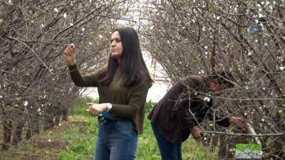 Antalya'da serada örtü altı üretilen can eriğin ilk hasadı yapıldı... Kilosu 500 liradan alıcı bulan eriğin tanesi ise 100 liraya geliyor